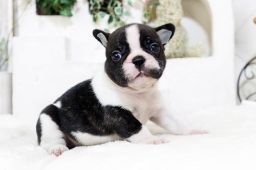 フレンチブルドッグの子犬(ID:1255411987)の2枚目の写真/更新日:2018-05-07
