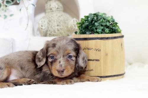 カニンヘンダックスフンド(ロング)の子犬(ID:1255411988)の1枚目の写真/更新日:2018-07-24