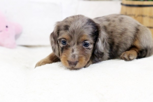 カニンヘンダックスフンド(ロング)の子犬(ID:1255411988)の2枚目の写真/更新日:2018-07-24