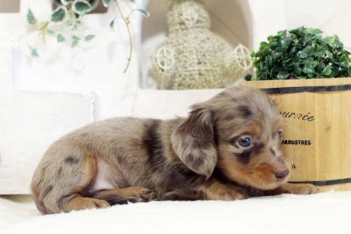 カニンヘンダックスフンド(ロング)の子犬(ID:1255411988)の3枚目の写真/更新日:2018-07-24