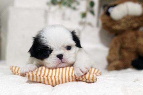 狆(チン)の子犬(ID:1255411989)の1枚目の写真/更新日:2018-05-10