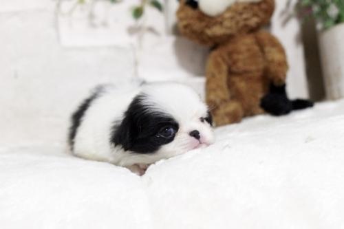 狆(チン)の子犬(ID:1255411989)の2枚目の写真/更新日:2018-05-10