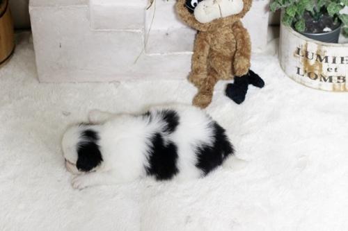 狆(チン)の子犬(ID:1255411989)の3枚目の写真/更新日:2018-05-10