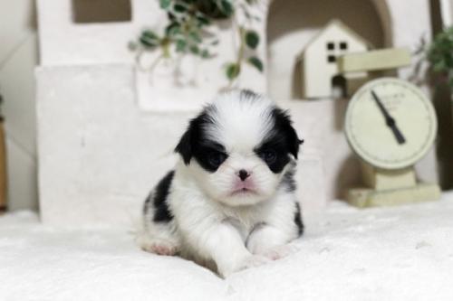 狆(チン)の子犬(ID:1255411990)の1枚目の写真/更新日:2018-05-10