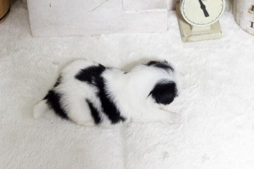 狆(チン)の子犬(ID:1255411990)の3枚目の写真/更新日:2018-05-10