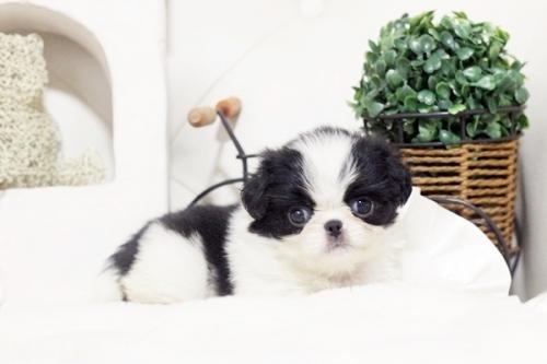 狆(チン)の子犬(ID:1255411991)の1枚目の写真/更新日:2018-05-10