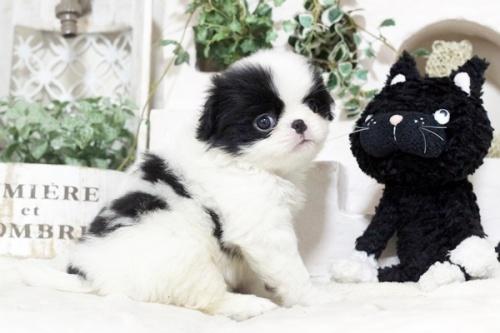 狆(チン)の子犬(ID:1255411992)の1枚目の写真/更新日:2018-05-10