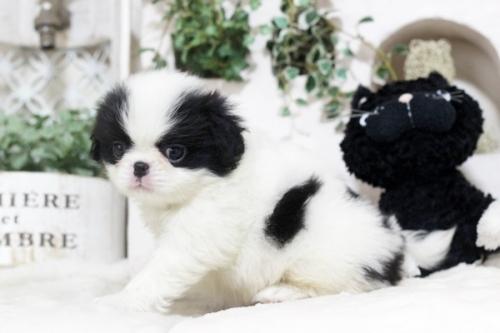 狆(チン)の子犬(ID:1255411992)の2枚目の写真/更新日:2018-05-10