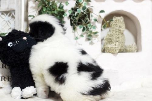 狆(チン)の子犬(ID:1255411992)の3枚目の写真/更新日:2018-05-10