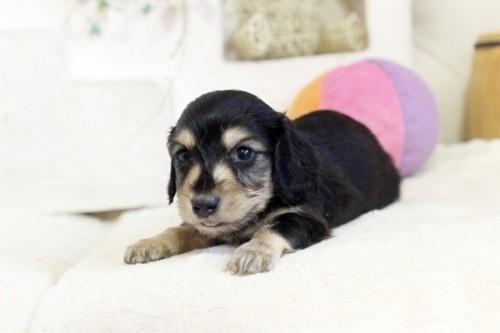 カニンヘンダックスフンド(ロング)の子犬(ID:1255411993)の1枚目の写真/更新日:2018-07-24