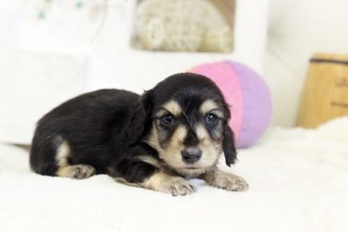 狆(チン)の子犬(ID:1255411993)の2枚目の写真/更新日:2018-05-10