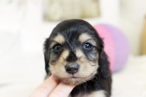 狆(チン)の子犬(ID:1255411993)の3枚目の写真/更新日:2018-05-10
