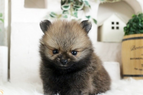 ポメラニアンの子犬(ID:1255411994)の1枚目の写真/更新日:2020-07-07