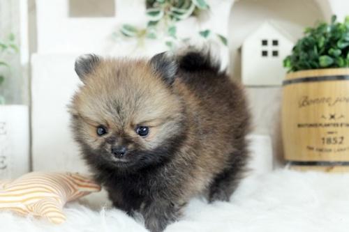 ポメラニアンの子犬(ID:1255411994)の2枚目の写真/更新日:2018-05-21