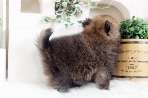 ポメラニアンの子犬(ID:1255411994)の3枚目の写真/更新日:2018-05-21