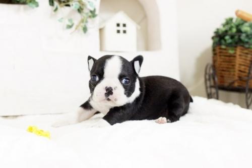 ボストンテリアの子犬(ID:1255411995)の1枚目の写真/更新日:2019-06-02