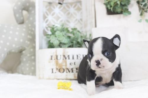 ボストンテリアの子犬(ID:1255411995)の2枚目の写真/更新日:2019-06-02