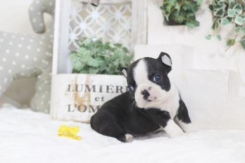 ボストンテリアの子犬(ID:1255411995)の3枚目の写真/更新日:2019-06-02