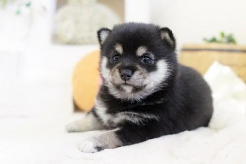 柴犬の子犬(ID:1255411997)の1枚目の写真/更新日:2020-12-12