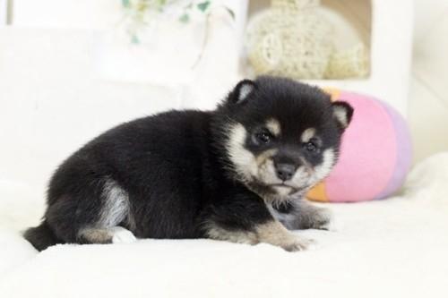 柴犬の子犬(ID:1255411997)の2枚目の写真/更新日:2020-12-12