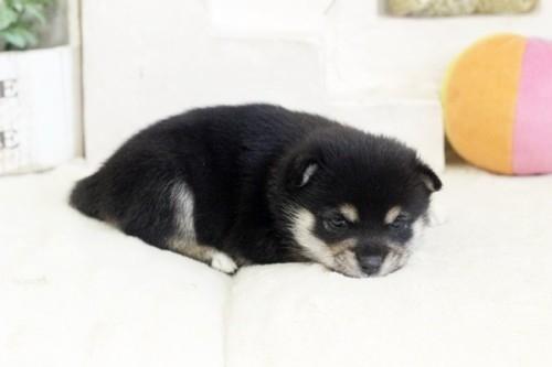 柴犬の子犬(ID:1255411997)の3枚目の写真/更新日:2020-12-12