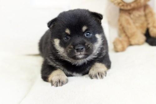柴犬の子犬(ID:1255411998)の1枚目の写真/更新日:2020-12-12