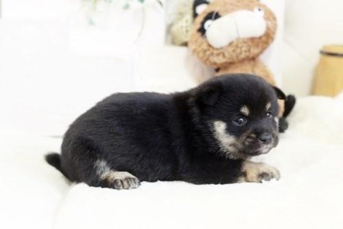 柴犬の子犬(ID:1255411998)の2枚目の写真/更新日:2020-12-12
