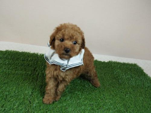 トイプードルの子犬(ID:1255511007)の1枚目の写真/更新日:2021-07-09