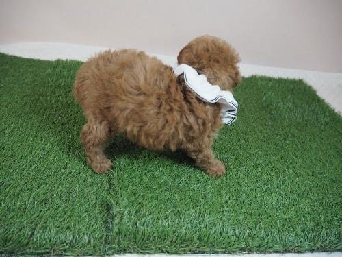 トイプードルの子犬(ID:1255511007)の2枚目の写真/更新日:2021-07-09