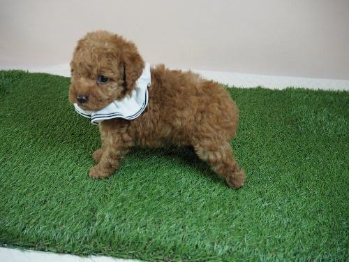 トイプードルの子犬(ID:1255511007)の3枚目の写真/更新日:2021-07-09
