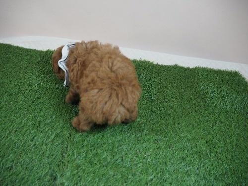 トイプードルの子犬(ID:1255511007)の4枚目の写真/更新日:2021-07-09