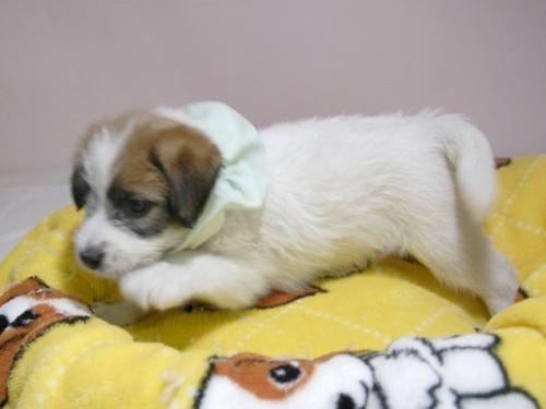 ジャックラッセルテリアの子犬(ID:1255511062)の2枚目の写真/更新日:2018-10-18