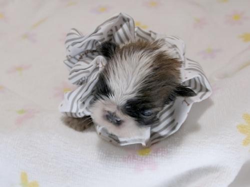 シーズーの子犬(ID:1255511084)の1枚目の写真/更新日:2019-05-02