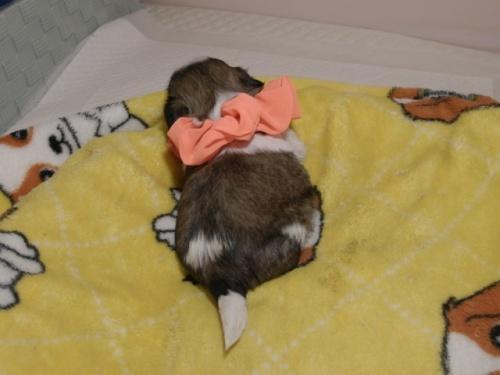 シーズーの子犬(ID:1255511085)の4枚目の写真/更新日:2019-09-12