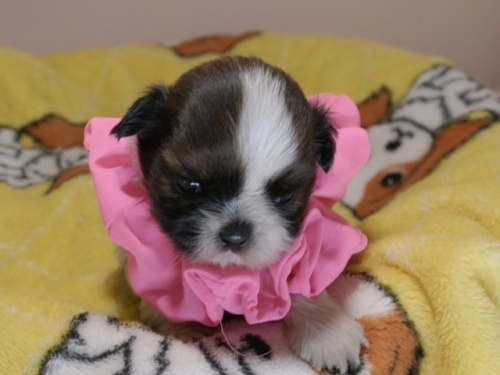 シーズーの子犬(ID:1255511086)の1枚目の写真/更新日:2019-09-12