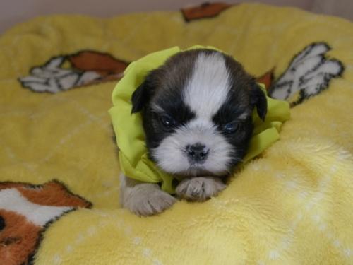 シーズーの子犬(ID:1255511087)の1枚目の写真/更新日:2019-09-12