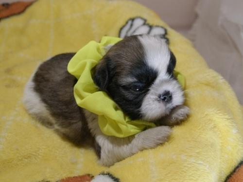 シーズーの子犬(ID:1255511087)の2枚目の写真/更新日:2019-09-12