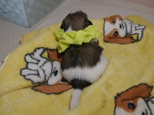 シーズーの子犬(ID:1255511087)の4枚目の写真/更新日:2019-09-12