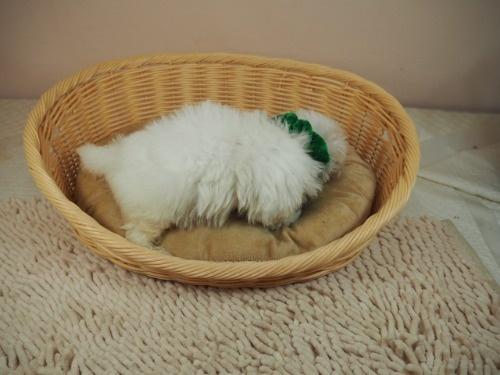 マルチーズの子犬(ID:1255511114)の2枚目の写真/更新日:2021-10-20