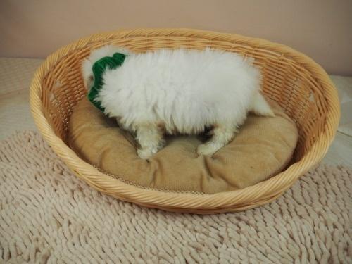マルチーズの子犬(ID:1255511114)の3枚目の写真/更新日:2021-10-20