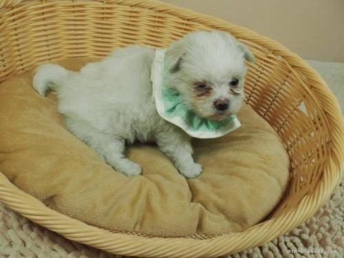 マルチーズの子犬(ID:1255511128)の2枚目の写真/更新日:2019-08-22