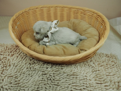 マルチーズの子犬(ID:1255511128)の3枚目の写真/更新日:2019-08-22