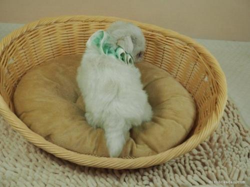 マルチーズの子犬(ID:1255511128)の4枚目の写真/更新日:2021-03-10