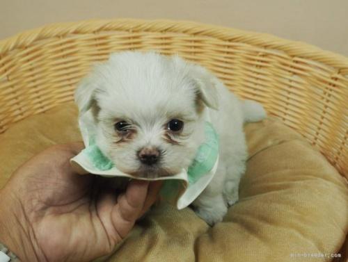マルチーズの子犬(ID:1255511128)の5枚目の写真/更新日:2021-03-10