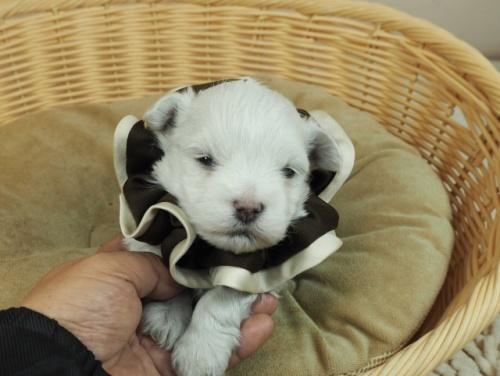 マルチーズの子犬(ID:1255511129)の1枚目の写真/更新日:2019-08-22