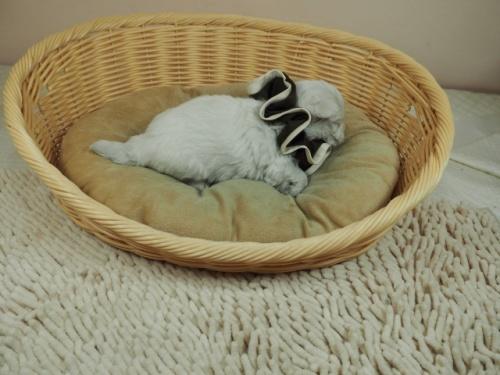 マルチーズの子犬(ID:1255511129)の2枚目の写真/更新日:2019-08-22