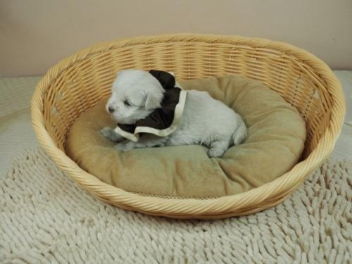 マルチーズの子犬(ID:1255511129)の3枚目の写真/更新日:2019-08-22