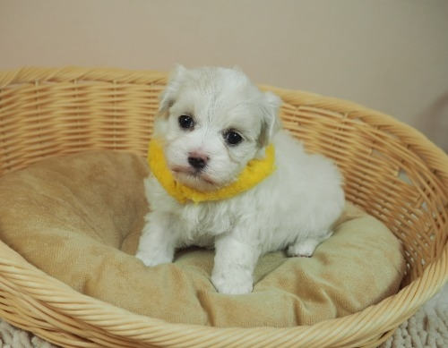 マルチーズの子犬(ID:1255511130)の1枚目の写真/更新日:2021-02-25