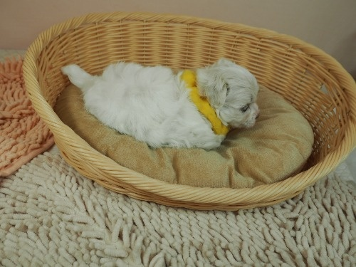 マルチーズの子犬(ID:1255511130)の2枚目の写真/更新日:2021-02-25