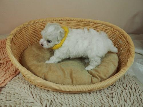 マルチーズの子犬(ID:1255511130)の3枚目の写真/更新日:2021-02-25